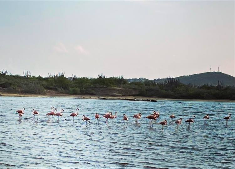 See flamingos between Jan Thiel and Mambo Beach at the Zoutpannen